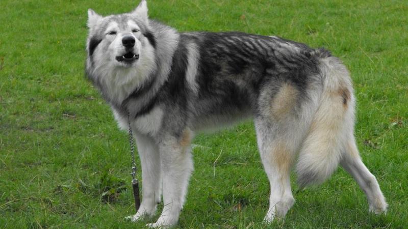 """Звезда """"Игры Престолов"""" - северная инуитская собака (лютоволки Старков): описание породы, особенности ухода"""