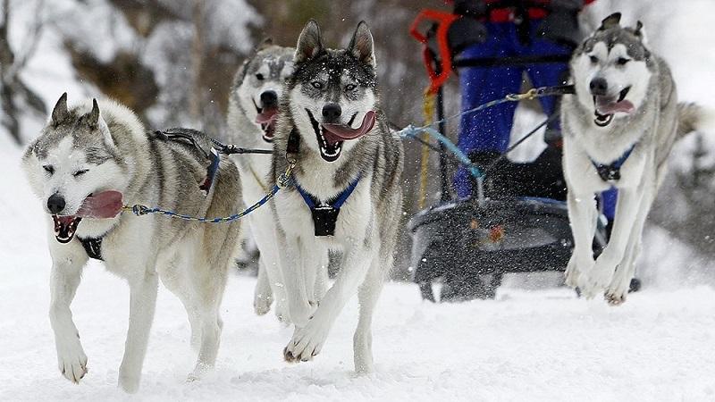 Организуем катание на хаски в упряжке: как научить собаку тянуть сани и особенности езды