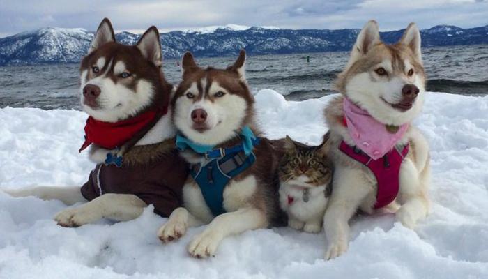 Уживаются ли вместе хаски и кошки?