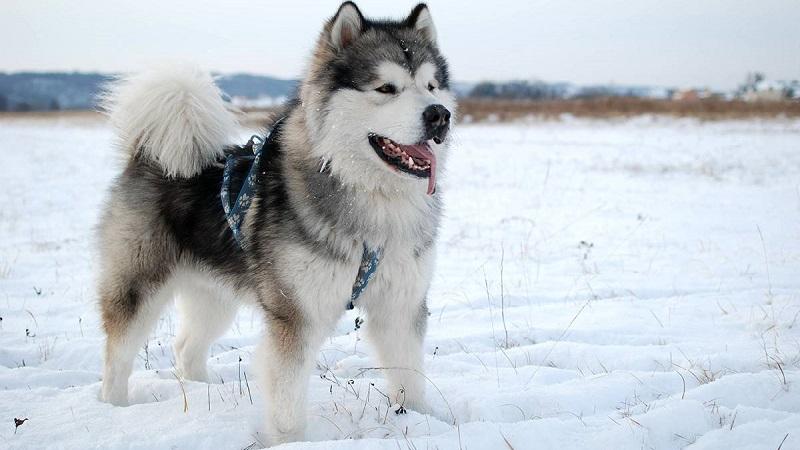 Какую собаку выбрать: чем отличается сибирский хаски от аляскинского маламута - особенности пород
