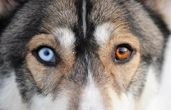 Норма или нет: хаски с разными глазами