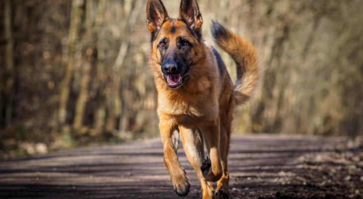 Лучшие сторожевые собаки породы
