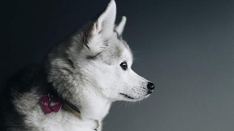 Как выглядит мини хаски (аляскинский кли-кай): описание и основные особенности породы