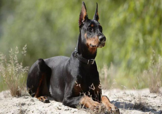 Какая собака самая быстрая в мире