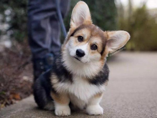 Собаки породы вельш корги