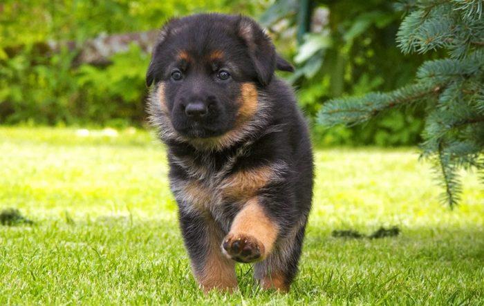 Подбираем кличку для собак девочек немецких овчарок