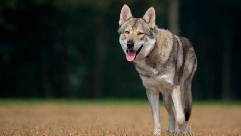 Волчья собака Сарлоса: описание и особенности ухода