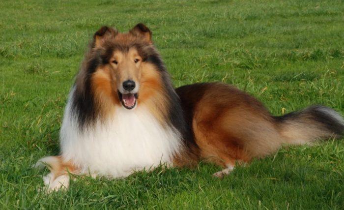 Описание породы собак колли